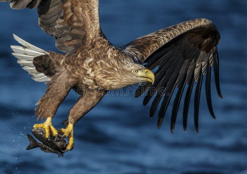 Dennego orła podchwyt zdjęcia stock