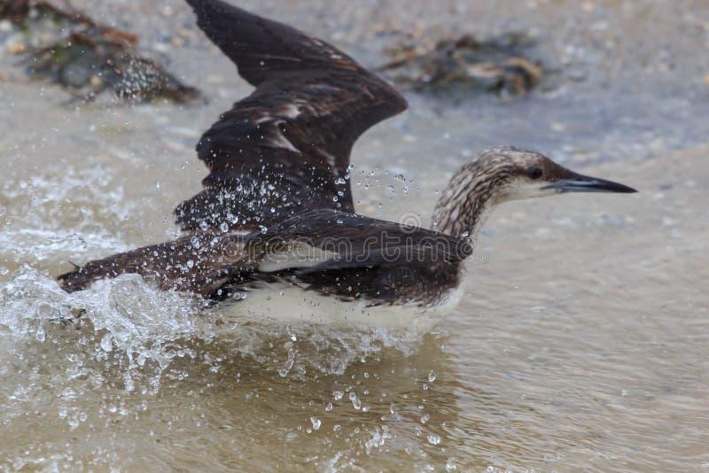 Dennego ptaka pływanie na wodzie zdjęcia stock