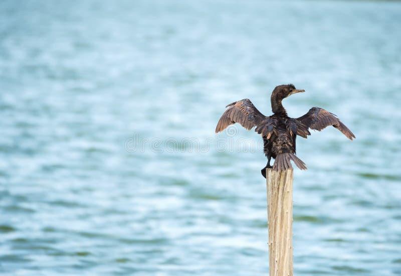 Dennego ptaka pozycja na słupie (Microcarbo Niger) zdjęcie royalty free