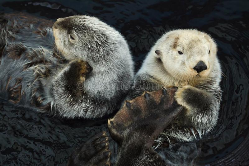 Dennej wydry Enhydra lutris obraz stock