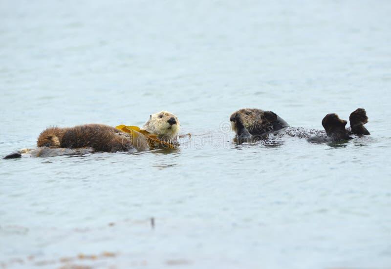 Dennej wydry matka z dzieckiem i samiec, duży sura, California obraz royalty free
