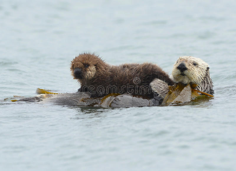 Dennej wydry matka z uroczym dzieckiem, niemowlakiem w kelp/, duży su zdjęcie royalty free