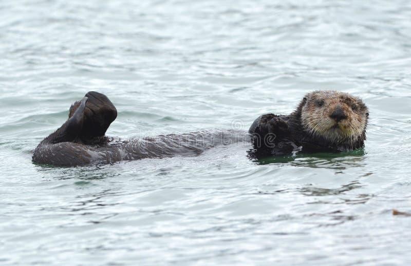 Dennej wydry samiec w kelp na coldy deszczowym dniu, duży sura, California obrazy stock