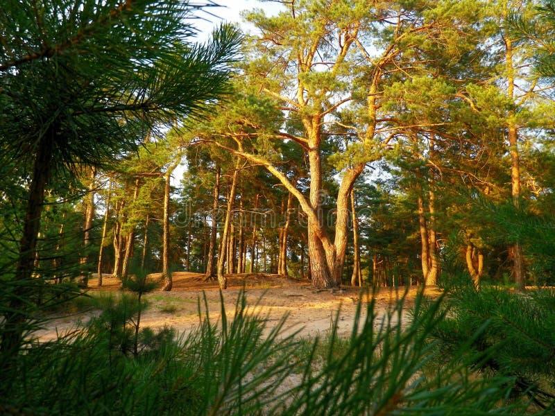 Dennenbos op zonsondergang De Noord-Oekraïne stock foto