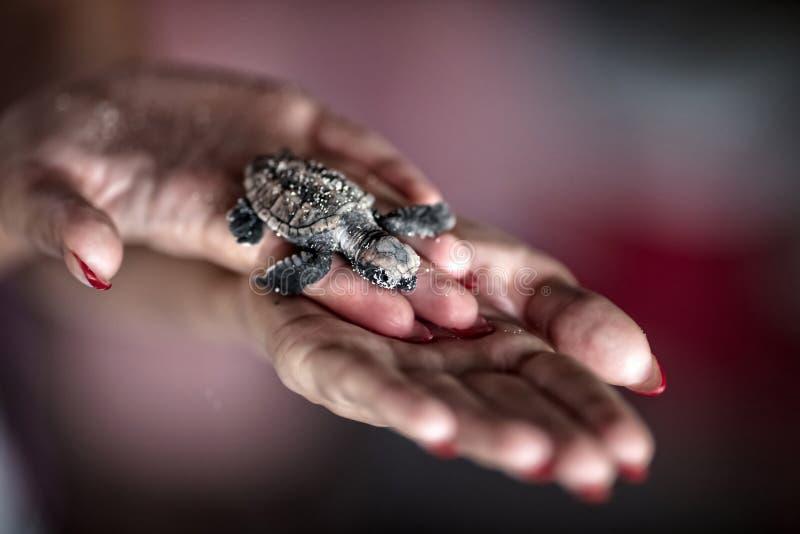 Denni żółwie zdjęcia royalty free