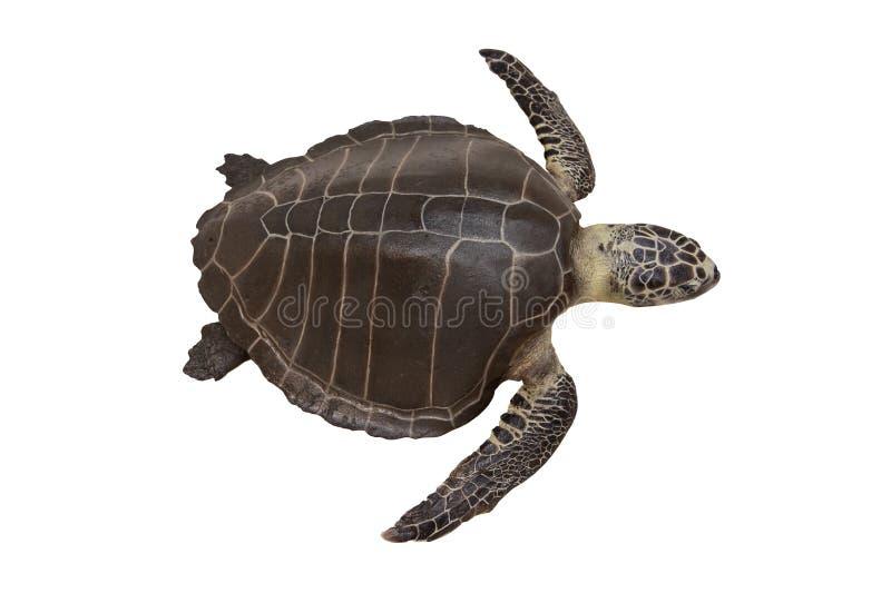 Denni żółwie lub Morscy żółwie odizolowywający obraz royalty free