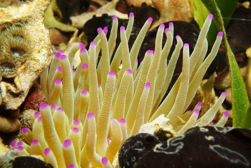 Denni istota czułki giganta Karaiby anemon obraz royalty free
