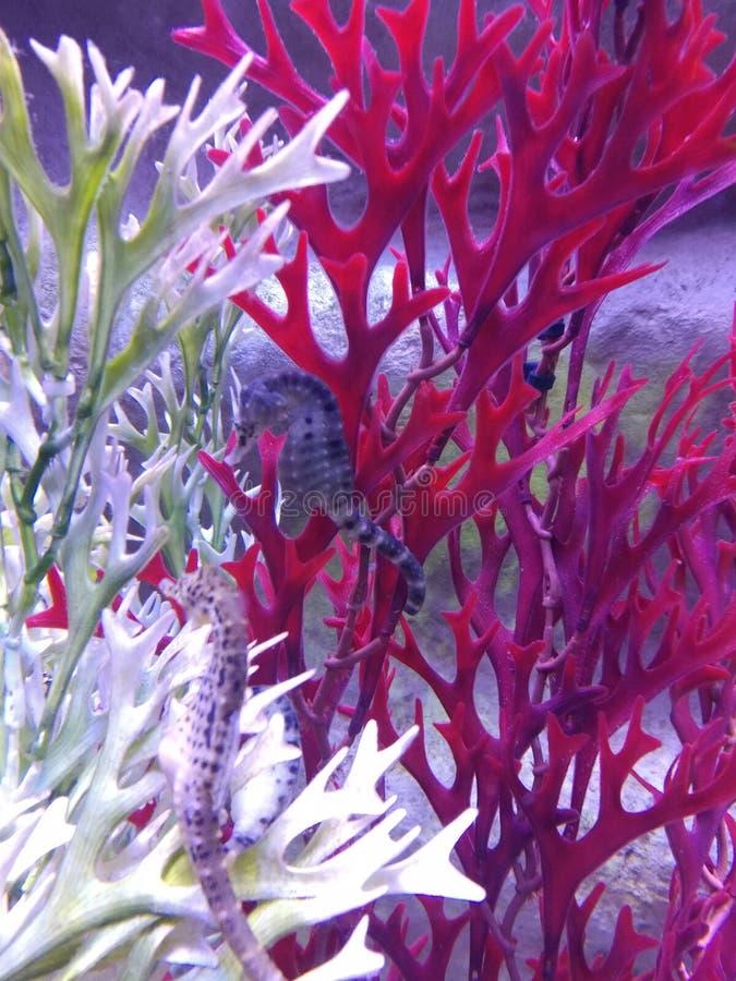 Denni konie i koral w akwarium zdjęcie royalty free