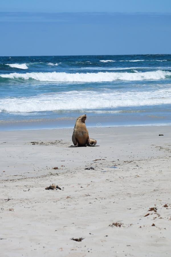Denni lwy na plaży obraz stock