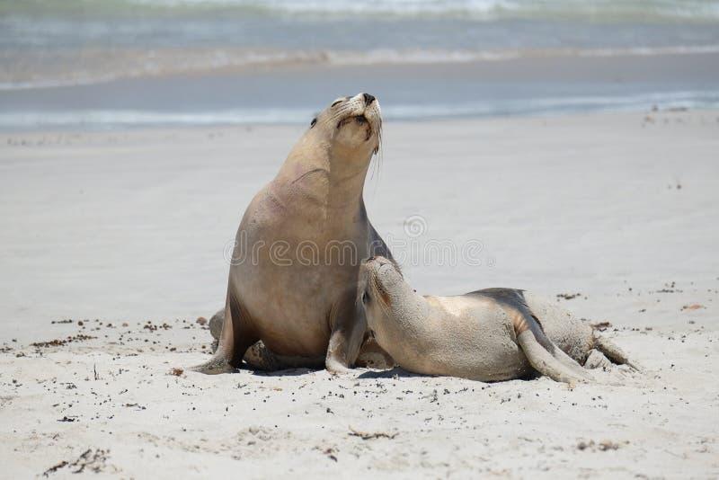 Denni lwy na plaży obraz royalty free