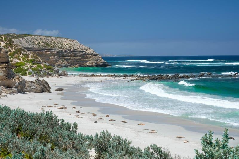 Denni lwy na plaży przy kangur wyspą zdjęcia royalty free