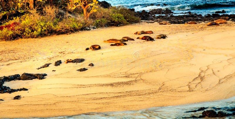 Download Denni lwy przy Galapagos obraz stock. Obraz złożonej z skały - 53780119