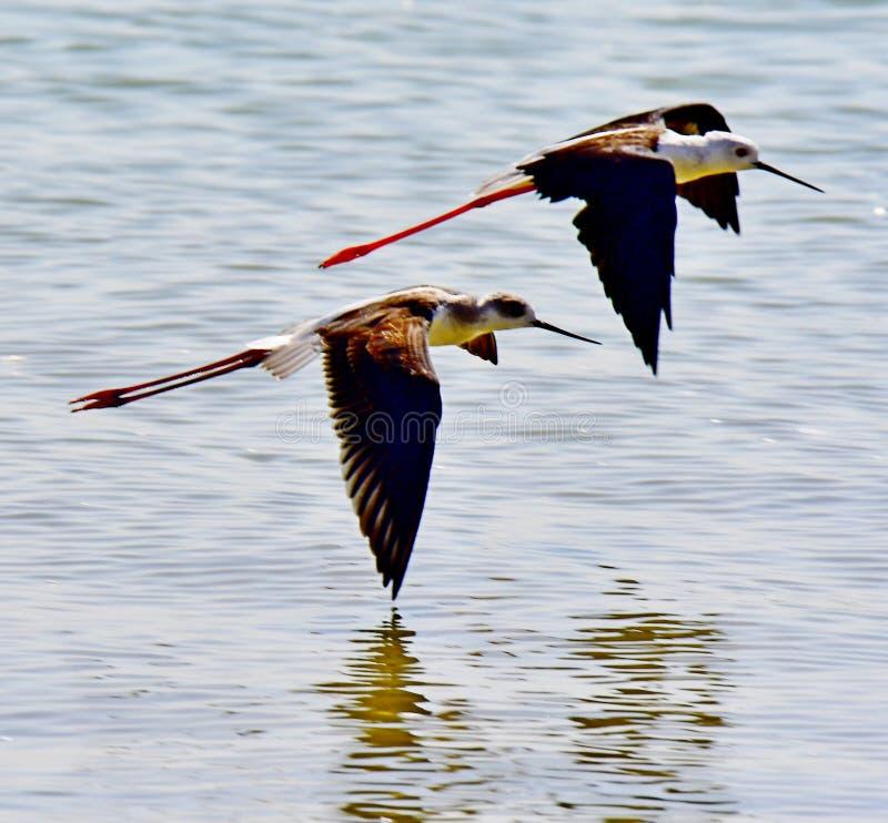 Denni ptaki w locie przy wybrzeżem w Arabia Saudyjska obraz royalty free
