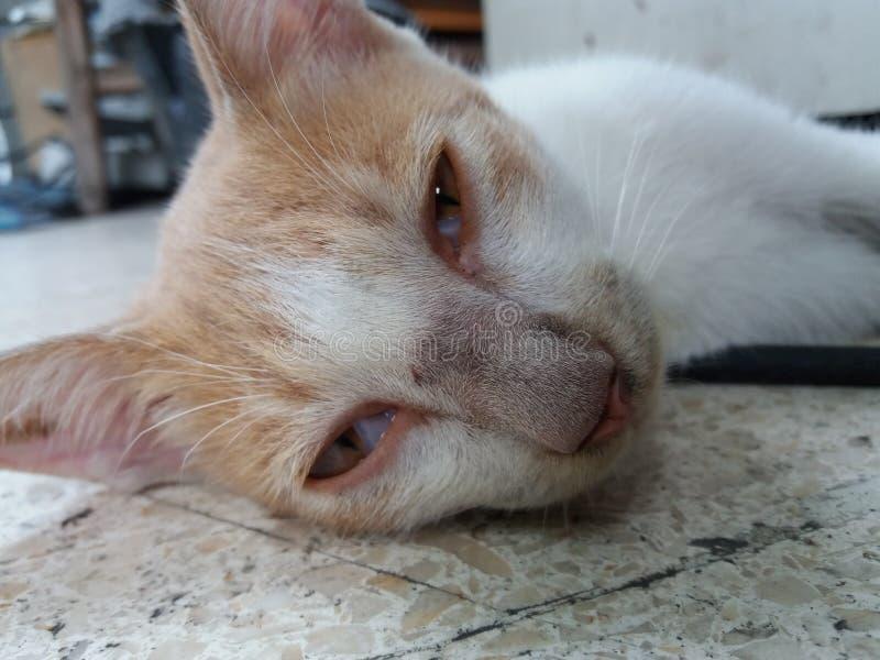 Dennis el gato más perezoso del mundo fotos de archivo