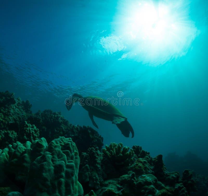 Download Denny żółw obraz stock. Obraz złożonej z środowisko, hawajczycy - 28959045