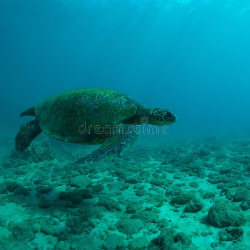 Download Denny żółw zdjęcie stock. Obraz złożonej z żeglarz, piękny - 28959088