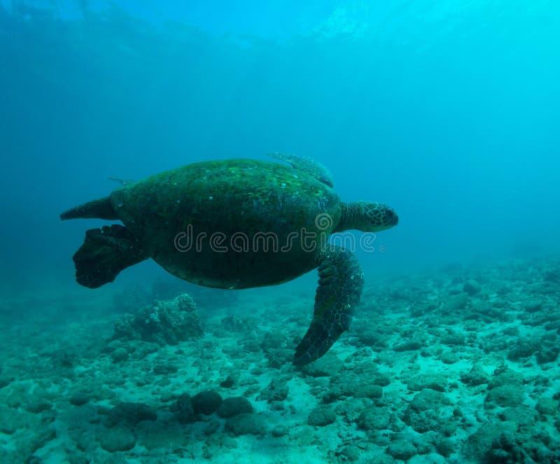 Download Denny żółw zdjęcie stock. Obraz złożonej z zbliżenie - 28959098