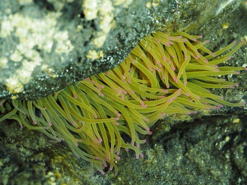 denny anemon w rockowym basenie obraz royalty free