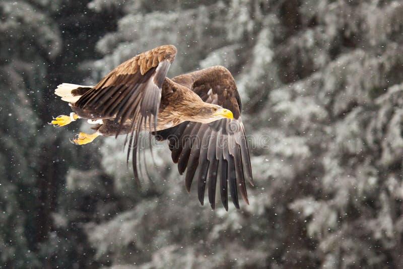 Denny Eagle zdjęcia stock