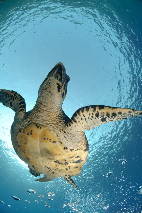 denny hawksbill żółw obrazy stock
