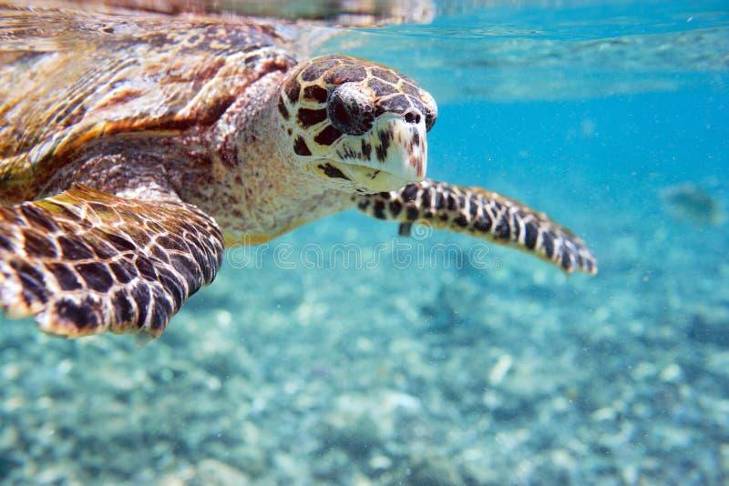denny hawksbill żółw zdjęcie royalty free