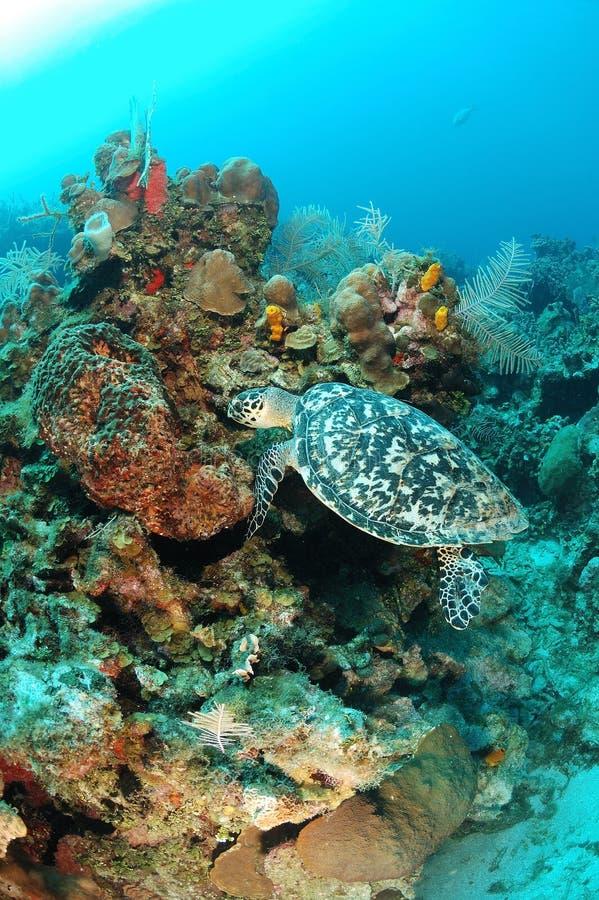 Denny Hawksbill żółw   zdjęcia stock