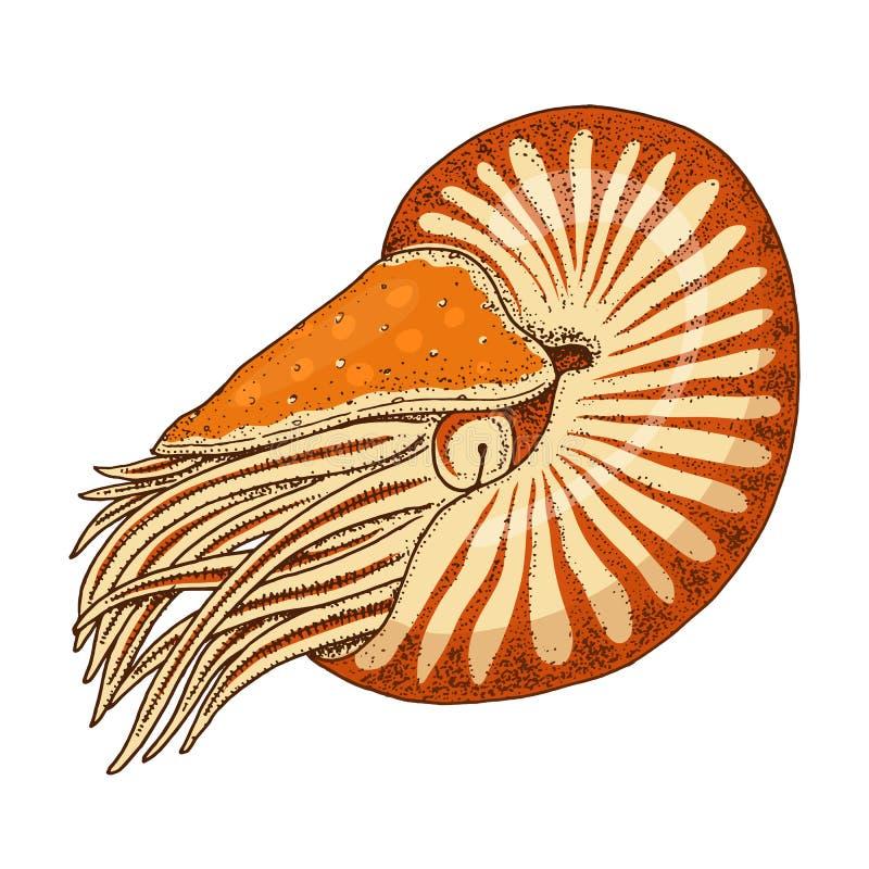 Denny istota łodzika pompilius shellfish, mollusk lub milczek grawerująca ręka rysująca w starym nakreśleniu, rocznika styl ilustracja wektor