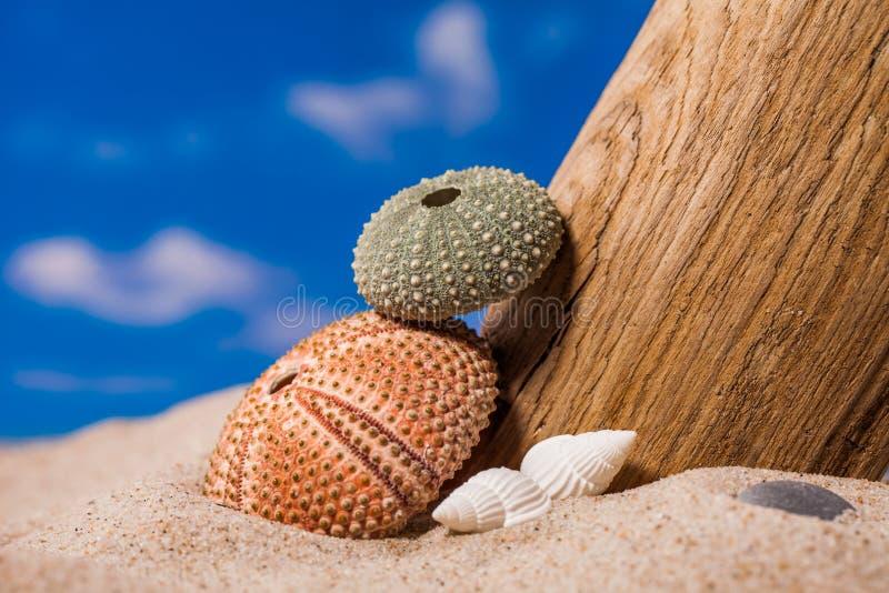 Denny jeż łuska na piaska i niebieskiego nieba tle obraz royalty free