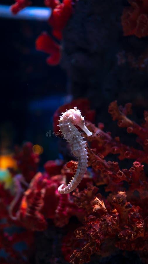 Denny koń w akwarium Te seahorses żyją w ciepłych morzach wokoło Indonezja, Filipiny i Malezja, obraz stock