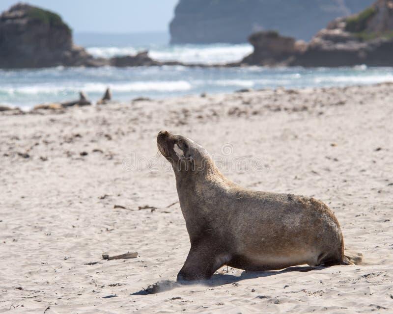 Denny lew, foki konserwaci Podpalany park, kangur wyspa, SA, Austr obraz stock