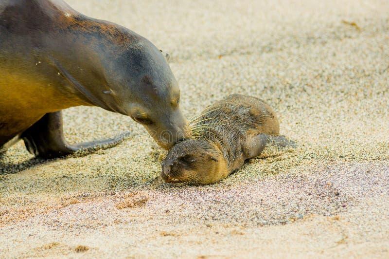 Denny lew w San Galapagos cristobal wyspach fotografia royalty free