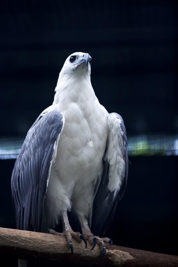 denny orła biel obrazy royalty free
