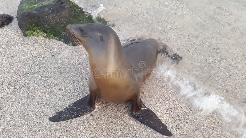 Denny wilk od Galapagos obraz stock