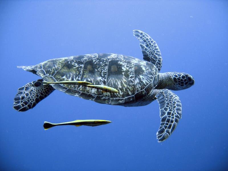 denny zielonego żółwia fotografia stock