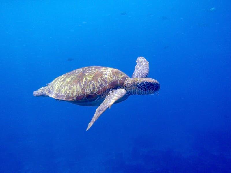 denny zielonego żółwia zdjęcia royalty free