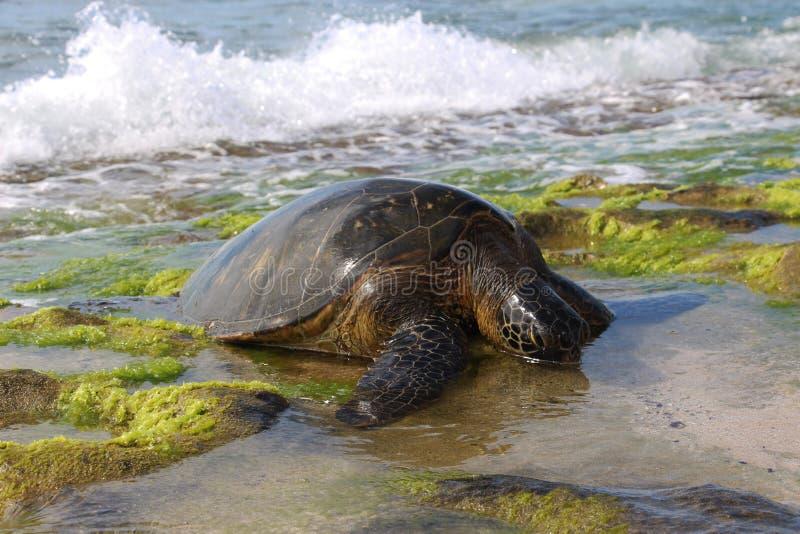 denny zielonego żółwia obrazy stock