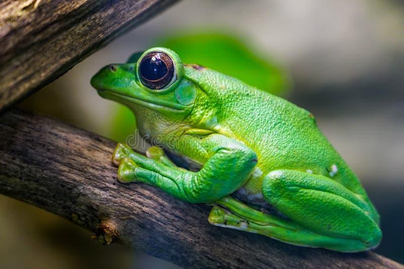 Dennys gigantyczna drzewna żaba pozuje w profilu zdjęcie royalty free