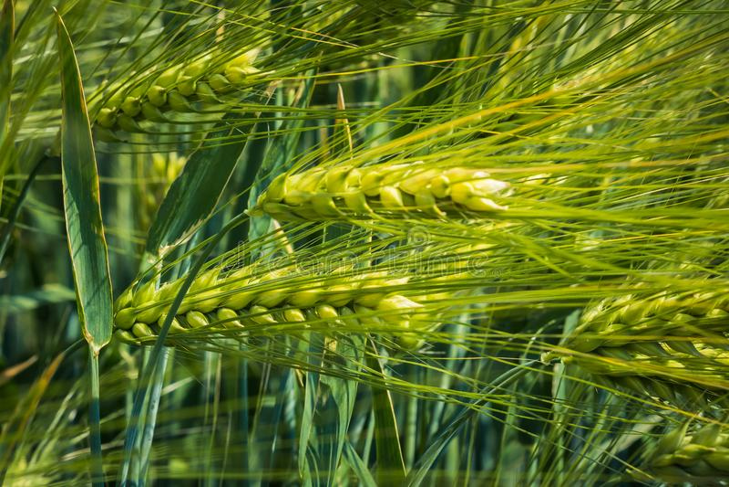 Densamente, oídos ejecutados de la cebada joven contra la perspectiva de las hojas verdes imagen de archivo libre de regalías