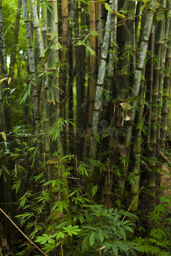 Dense bamboo forest royalty free stock photography