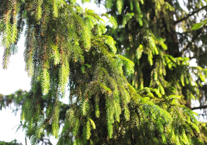 A dense branch of a taiga spruce in the sunlight, wildlife. Conifer tree stock photo
