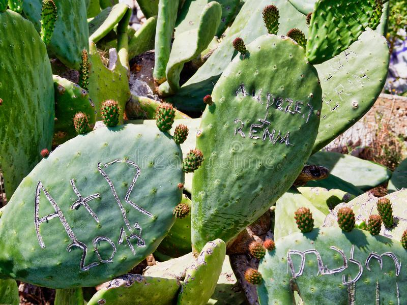 Graffiti Carved on Fruiting Prickly Pear Cactus Leaves, Greece. A dense cluster or colony of prickly pear cactus, or Opuntia, growing on the slopes of Mount royalty free stock photos