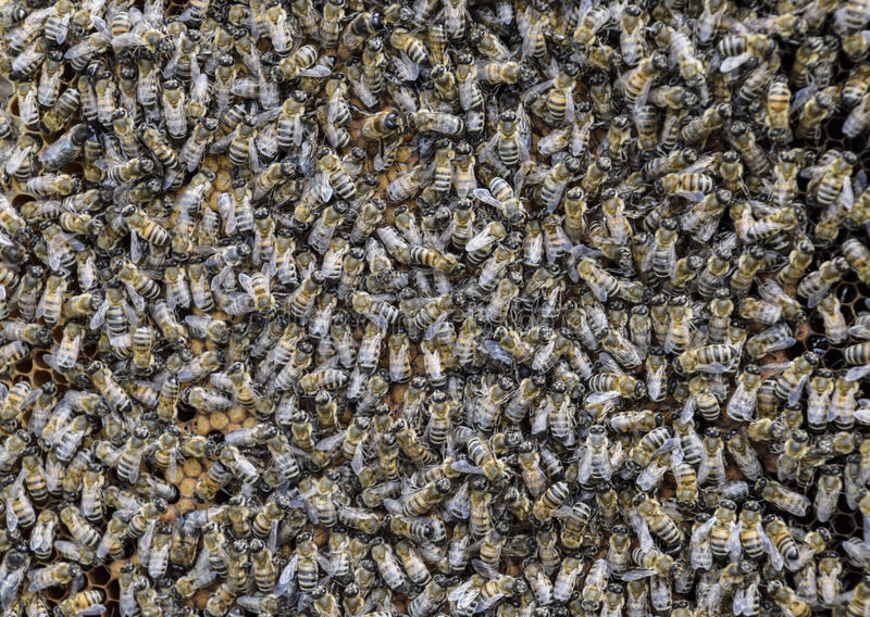 A dense cluster of swarms of bees in the nest. Working bees, drones and uterus in a swarm of bees. Honey bee. Accumulation of inse stock photos