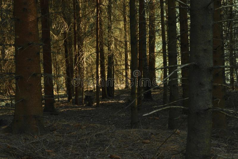 Dense and dark forest. Dense and dark spruce forest illuminated by yellow evening sun light stock image