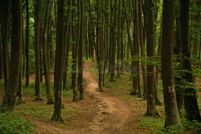 Dense dark forest path. A curved path leading into a dense dark forest with tall trees and green foliage on the ground stock photo