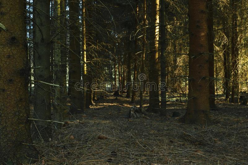 Dense and dark forest. Dense and dark spruce forest illuminated by yellow evening sun light royalty free stock photos