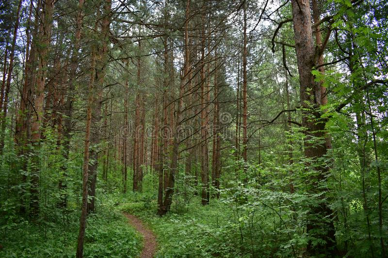 Dense fairy forest green area behind the trees a narrow trail. Landscape forest Park royalty free stock photography
