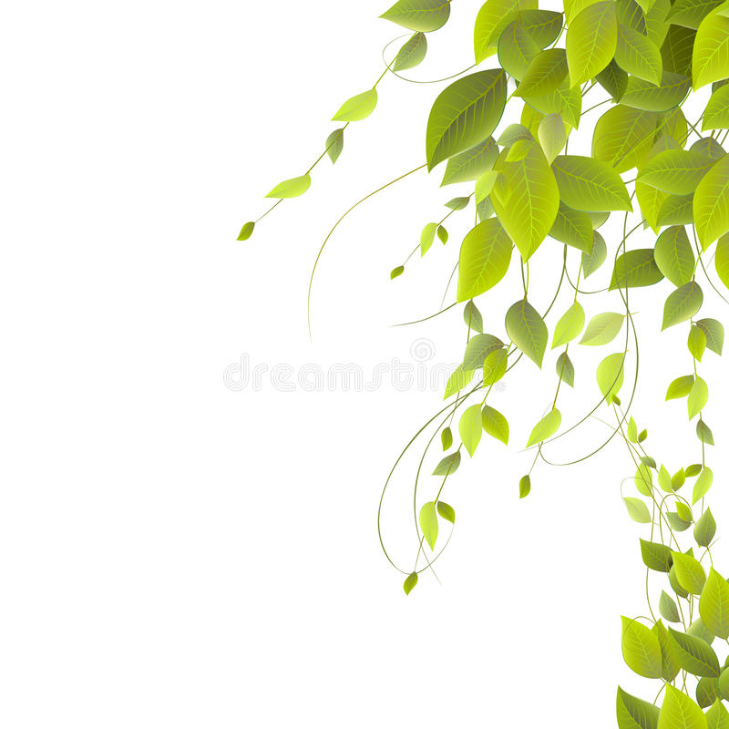 Dense foliage on a white background, climbing plants, stock photo