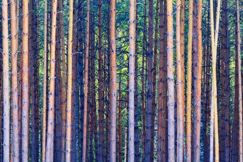 Dense forest. Abstract background formed by dense forest stock images
