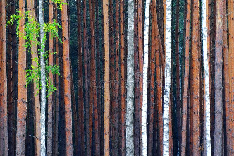Dense forest. Abstract background formed by dense forest stock photography