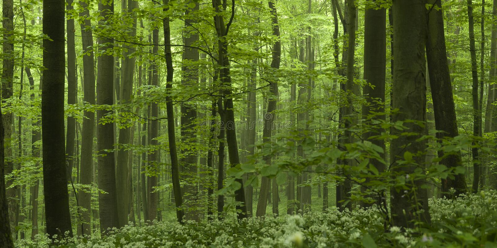 Dense Forest Beech Tree Grove. Dense forest with grove of beech trees royalty free stock photo